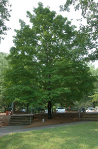 green sugar maple tree