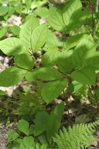 Downy serviceberry leaves