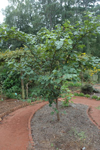 Eastern redbud tree in garden
