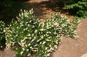 Summersweet Clethra, Sweet Pepperbush in landscape