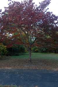 Flowering Dogwood tree in landscape, fall color
