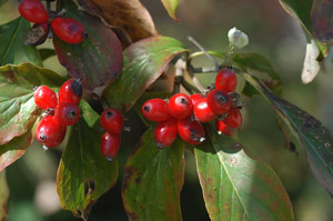 Flowering Dogwood berries