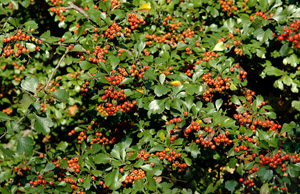 Littlehip Hawthorn berries