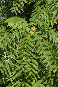Black walnut leaves and branches
