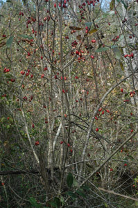 Ogeechee Lime, Ogeechee Tupelo tree with no leaves