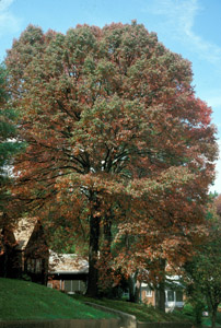 Black gum or tupelo tree in landscape