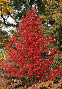 Black gum or tupelo, fall color