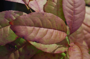 Sourwood, fall color