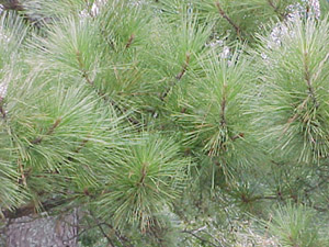 Loblolly pine foliage on branches