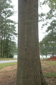 Willow oak tree trunk featuring bark