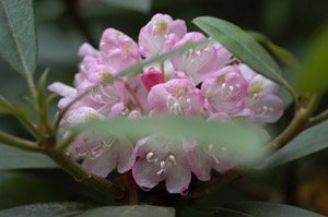 Piedmont rhododendron flowers and foliage