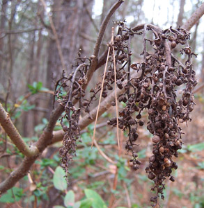 Winged sumac seeds