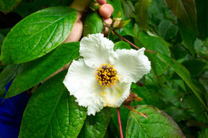 Mountain stewartia flower and foliage