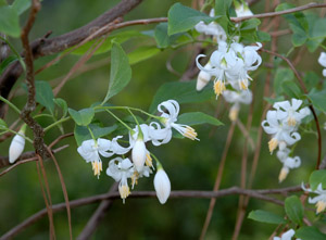 American snowbell