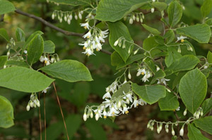 Bigleaf snowbell flowers and foliage on branches