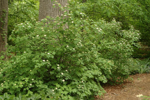 Mapleleaf Viburnum in the landscape