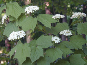 Mapleleaf Viburnum flowers