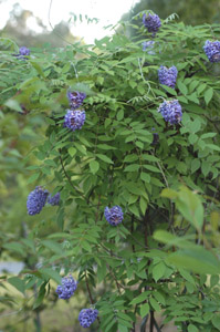 American Wisteria flowers and foliage