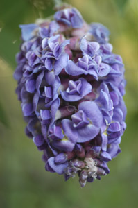 American Wisteria flowers