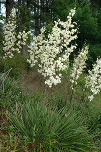 Adam's Needle, Beargrass, Spanish Bayonet, Curly Leaf Yucca flowers