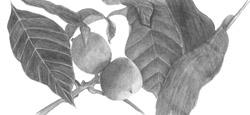 carpathian walnut