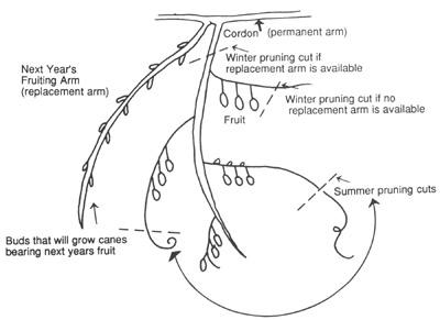 Figure 2: Pruning of Kiwifruit Fruiting Arms