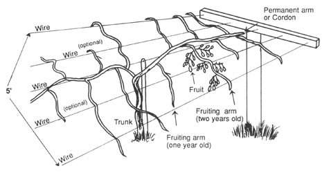 Figure 1: A Horizontal T-Bar Trellis for Kiwifruit