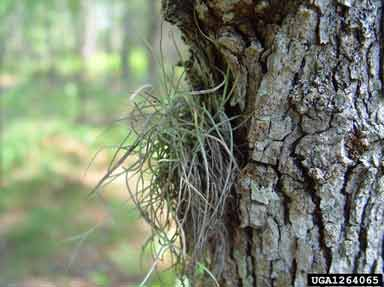 Figure 4. Long, slender stems used to catch water and nutrients grow from the bark.