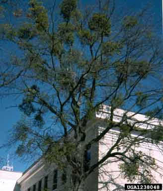 Figure 8. Heavy mistletoe infestation on a tree.