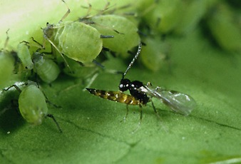 Aphid wasp (<em>Lysiphlebus testaceipes</em>) adult emerging from aphid mummy.