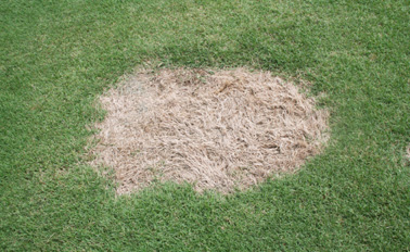 Example of spring dead spot in grass