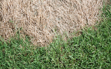 Figure 1. Spring dead spot symptoms. Multiple circular patches of dead, bleached grass are evident in the spring. Grass at the center of the patches is completely deteriorated and usually colonized by weeds. Sharp edges between dead and healthy grass are observed once turfgrass greens up in spring. (Photos Alfredo Martinez)