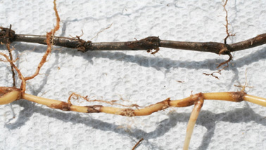 Figure 2. Dark brown to black roots and rhizomes of SDS-affected bermudagrass (top). Compare with healthy rhizomes and roots (bottom). (Photo Alfredo Martinez)