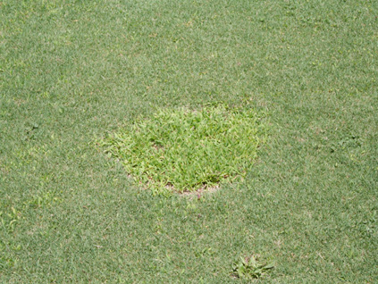 Figure 3. Weeds often fill the voids caused by SDS patches. (Photo Alfredo Martinez)