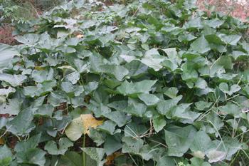Sweet potato foliage.