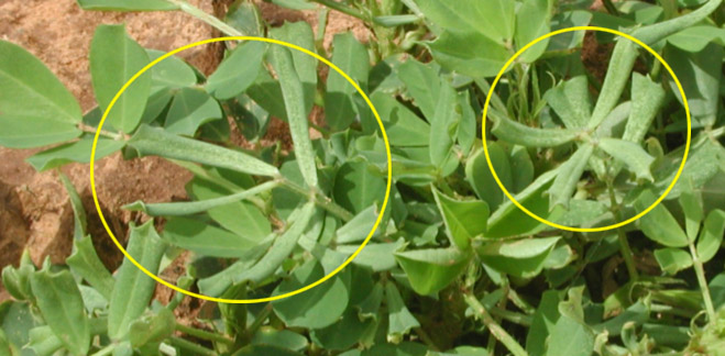 Figure 2. Peanut leaf strapping caused