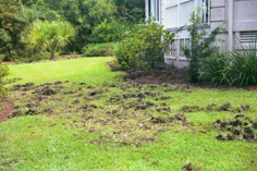 Damage to a suburban yard from rooting wild pigs.