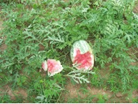Deer damage to watermelon.
