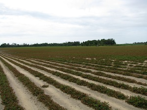 Figure 1. Peanut production field in Pulaski County, Ga., accidently treated with Liberty®.