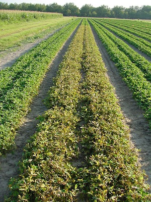 Figure 2. Peanut research plot treated with Liberty®.