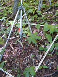 Wild ramps and mayapple in a forest plot.