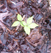 Ginseng seedlings in a