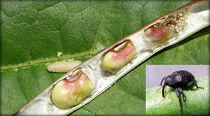 Damage to peas caused by cowpea curculio.