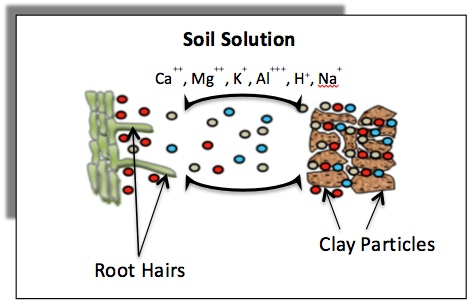 Schematic diagram showing exchange of cations between the soil surfaces and the soil solution, and the movement of these cations from clay particles to roots (rhizosphere) for uptake by the root hairs.