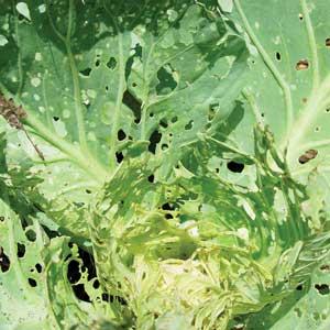 damage on cabbage