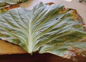 leaf showing potassium deficiency symptoms