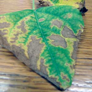 leaf showing symptoms of drought stress