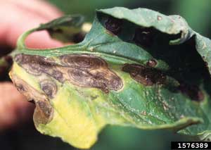 symptoms of early blight
