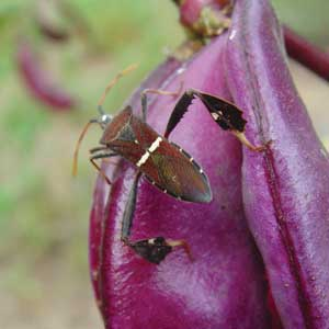 adult leaf-footed bug