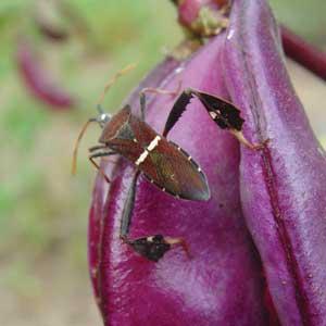adult leaf-footed bug